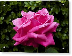 Perfect Rose Acrylic Print by Terry Horstman