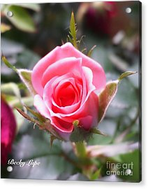 Perfect Rosebud In True Color Acrylic Print by Becky Lupe