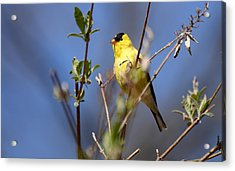 Perfect Shade Of Yellow Acrylic Print by Lori Tambakis