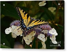 Perfect Tiger Swallowtail Butterfly Acrylic Print by Byron Varvarigos