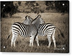 Perfect Zebras Acrylic Print