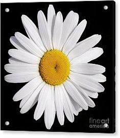 Perfectly Daisy Acrylic Print