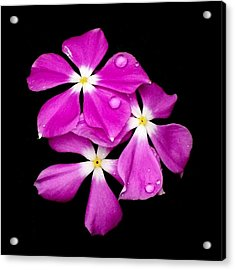 'periwinkle Flowers After Rainfall' Acrylic Print