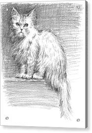 Persian Cat Acrylic Print by Sarah Parks
