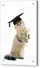 Persian Cat With Diploma Acrylic Print by Jean-Michel Labat