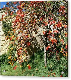 Persimmon Tree With Fruit Acrylic Print by Mark De Fraeye/science Photo Library