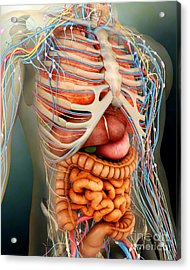 Perspective View Of Human Body, Whole Acrylic Print by Stocktrek Images