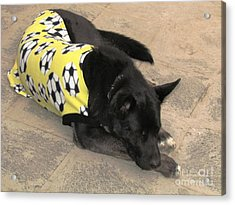 Peru Ollantaytambo Dog Acrylic Print