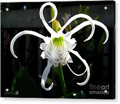 Peruvian Daffodil Named Advance Acrylic Print
