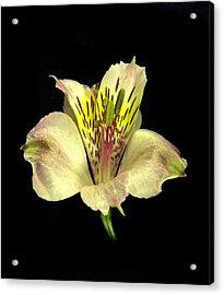 Peruvian Lily. Acrylic Print
