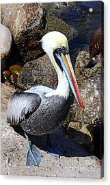 Peruvian Pelican Acrylic Print