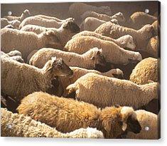 Peruvian Wool Parade Acrylic Print