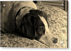 Acrylic Print featuring the photograph Pet Portrait-waiting For Mom by Laura  Wong-Rose