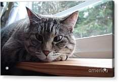 Acrylic Print featuring the photograph Pet Portrait - Lily The Cat by Laura  Wong-Rose