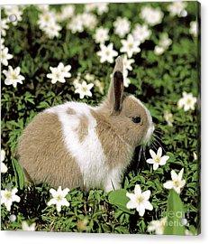 Pet Rabbit Acrylic Print by Hans Reinhard/Okapia