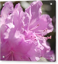 Petal Pink By Jrr Acrylic Print by First Star Art