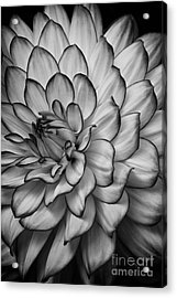 Petals Acrylic Print by Carrie Cranwill