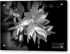 Petals Of Silver Acrylic Print