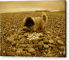 Pete With His Pebble Collection Acrylic Print by Samantha Wakefield