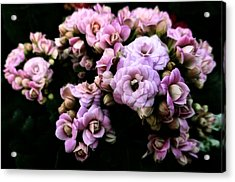 Petite And Pink Acrylic Print by Steve Taylor