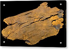 Petrified Wood Acrylic Print by Pascal Goetgheluck/science Photo Library