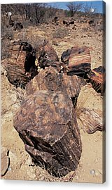 Petrified Wood Acrylic Print