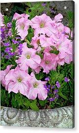 Petunia X Hybrida 'pink Lady' Acrylic Print by Brian Gadsby/science Photo Library