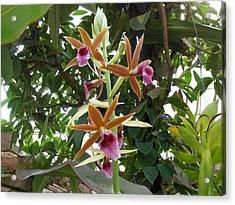 Phaius Orchids Acrylic Print