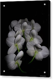 Phalaenopsis Backs Acrylic Print