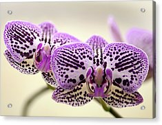 Phalaenopsis Orchid Flowers Acrylic Print by Maria Mosolova