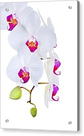 Phalaenopsis Orchids Against White Background Acrylic Print by Robert Jensen