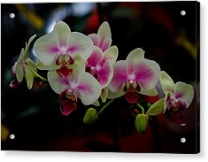 Phalaenopsis Pink Orchid Acrylic Print by Donald Chen
