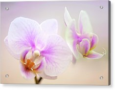 Phalaenopsis 'sweetheart' Orchid Flowers Acrylic Print by Maria Mosolova