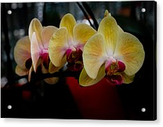 Phalaenopsis Yellow Orchid Acrylic Print by Donald Chen