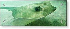 Phantom - Manta Ray Art By Sharon Cummings Acrylic Print by Sharon Cummings