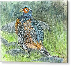Acrylic Print featuring the drawing Pheasant Common Male by Carol Wisniewski