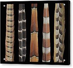 Pheasant Tail Composite Acrylic Print