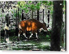 Phenomena Of Banteng Walk Acrylic Print