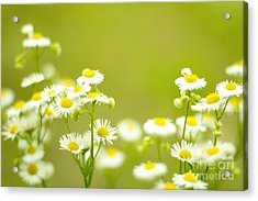 Philadelphia Fleabane Wildflowers In Soft Focus Acrylic Print
