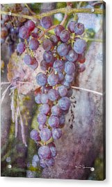 Phil's Grapes Acrylic Print
