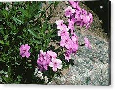 Phlox Amoena Acrylic Print by Bob Gibbons/science Photo Library