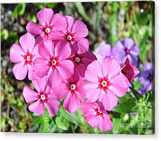 Acrylic Print featuring the photograph Phlox Beside The Road by D Hackett