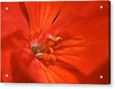 Phlox Flower Acrylic Print by Retro Images Archive