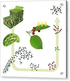 Photosynthesis Acrylic Print by Carlos Clarivan