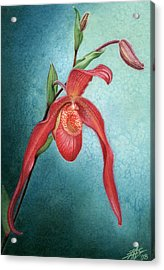 Phragmipedium Fire Cascade Acrylic Print