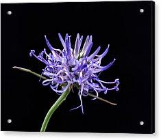 Phyteuma Balbisii Acrylic Print