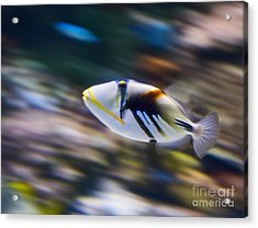 Picasso - Lagoon Triggerfish Rhinecanthus Aculeatus Acrylic Print by Jamie Pham