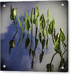 Pickerel Weed Vignetted In Black Acrylic Print by Karen Stephenson
