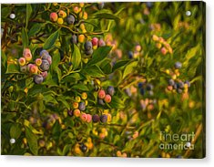 Pickin Blueberries Acrylic Print