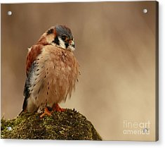 Picture Perfect American Kestrel  Acrylic Print by Inspired Nature Photography Fine Art Photography